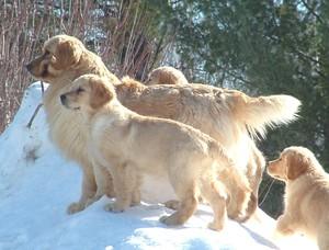 Kulta Golden Retrievers & Naughty Pine Arabians