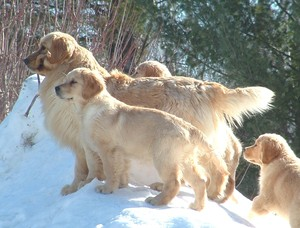 Kulta Golden Retrievers & Naughty Pine Arabians